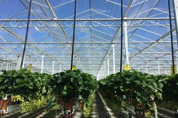 Boem Berry strawberry greenhouse-Canada
