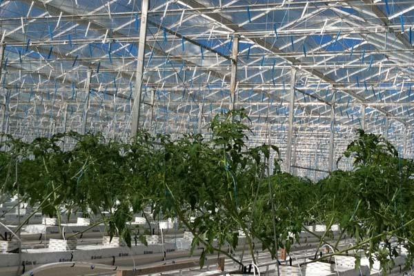 Intergrow Tomatos Greenhouses-Ontario