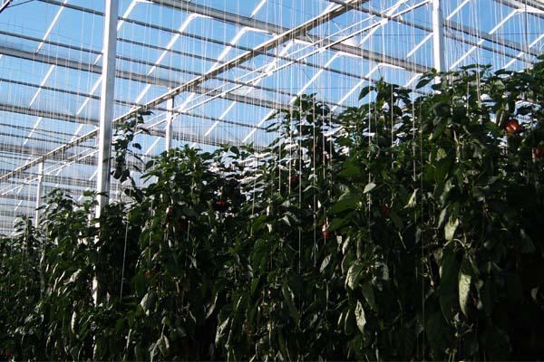 Pepper Greenhouse in Canada,Blenheim